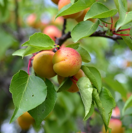 apricot kernels: Ripe apricots growing on the apricot tree Stock Photo
