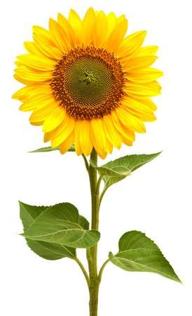 single object: Sunflower isolated on white background