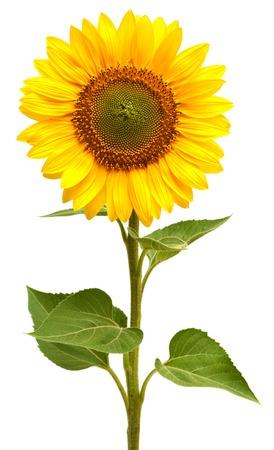 Zonne bloem geïsoleerd op witte achtergrond Stockfoto