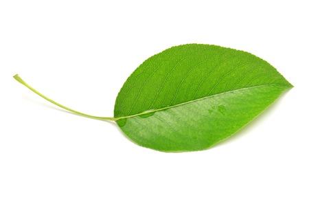 Single isolated leaf on a white background 版權商用圖片