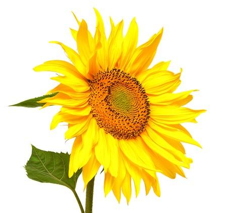 Sunflower isolated on white background Zdjęcie Seryjne - 36679073