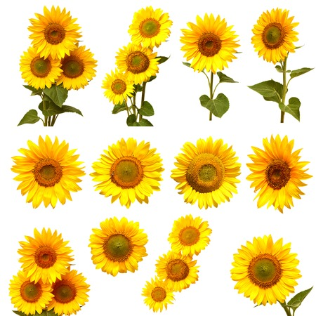 Sunflowers collection on the white background Zdjęcie Seryjne - 36679145