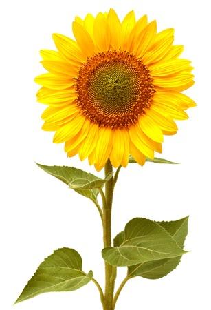 sunflower isolated: Sunflower isolated on white background