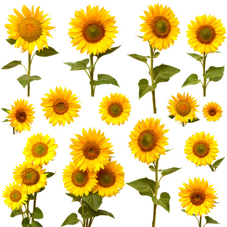 Sunflowers collection on the white background Zdjęcie Seryjne - 36902574
