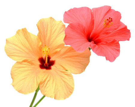 Two colored hibiscus isolated on white background photo