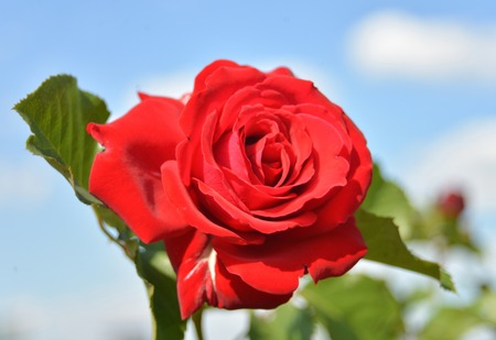 Red rose on a background of the sky photo