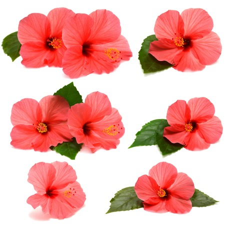 Collection hibiscus with leaves isolated on white background photo