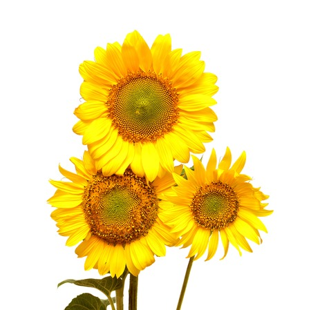 Bouquet of sunflowers isolated on white background photo