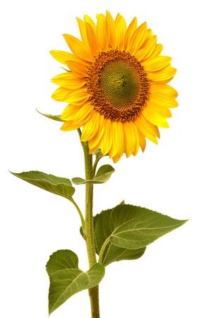Sunflower isolated on white background Zdjęcie Seryjne - 37194011