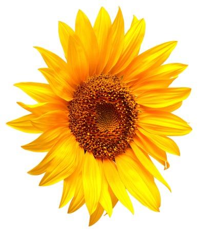 Sunflower isolated on white background photo