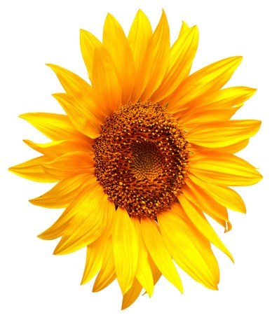 Sunflower isolated on white background Zdjęcie Seryjne - 37194015