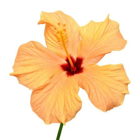 Yellow hibiscus isolated on white background photo