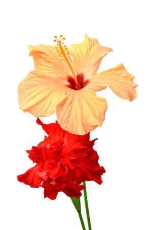 rosas amarillas: Dos hibiscos de color aislados sobre fondo blanco