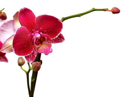 Purple orchid isolated on white background photo