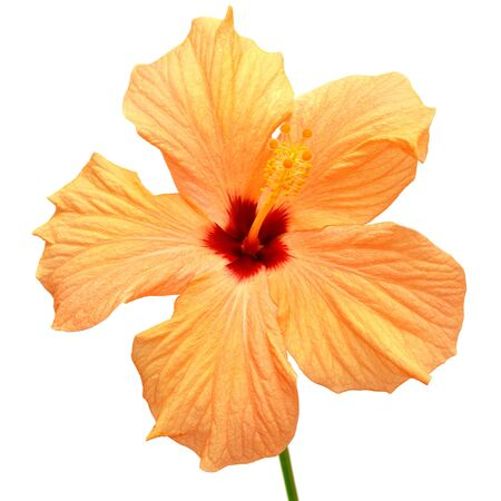 Yellow hibiscus isolated on white background photo
