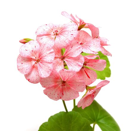 Geranium with leaves isolated on white background photo