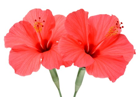 Two hibiscus isolated on white background photo