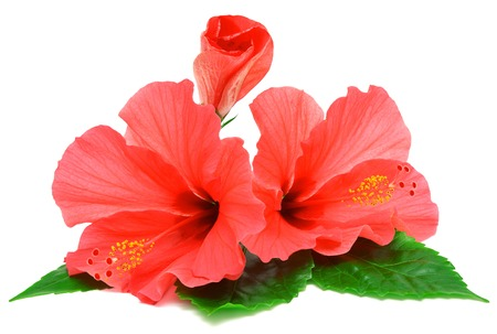 Postcard from hibiscus flowers isolated on white background photo