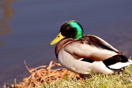 Wild duck on grass with water photo