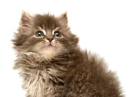Beautiful persian little kitten isolated on white background photo