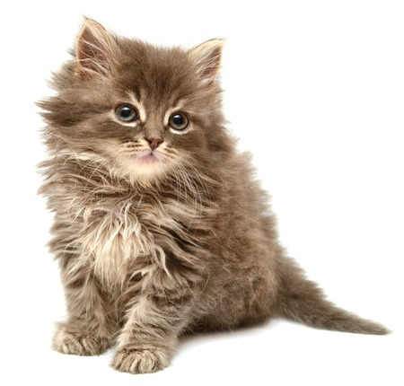 Beautiful persian little kitten isolated on white background photo