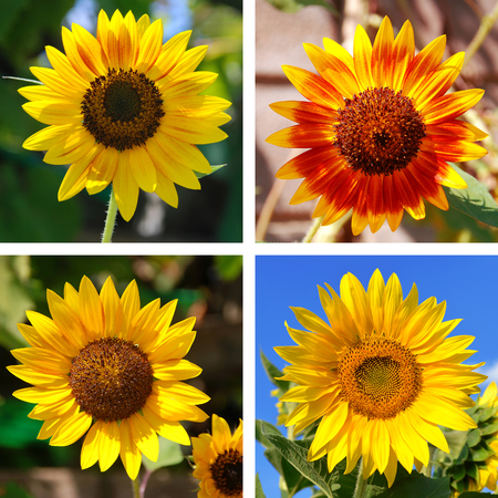 Collage of beautiful ornamental sunflowers photo