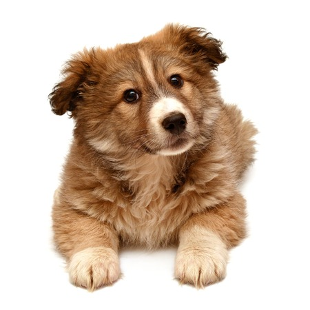 Beautiful puppy looking at the camera isolated on white background photo