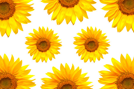 Sunflowers collection on the white background photo
