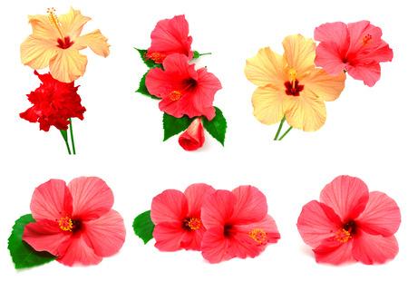 hibisco: Colección de hibisco coloreado con hojas aisladas sobre fondo blanco
