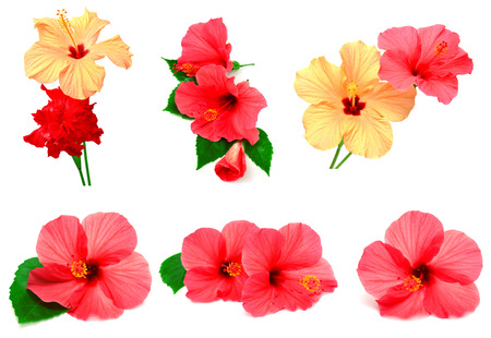 Collection of colored hibiscus with leaves isolated on white background photo