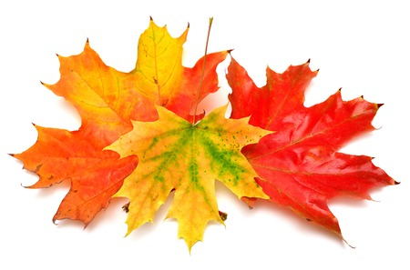 Colored autumn leaves isolated on white background 版權商用圖片