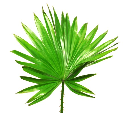 spring  leaf: Palm leaf isolated on white background