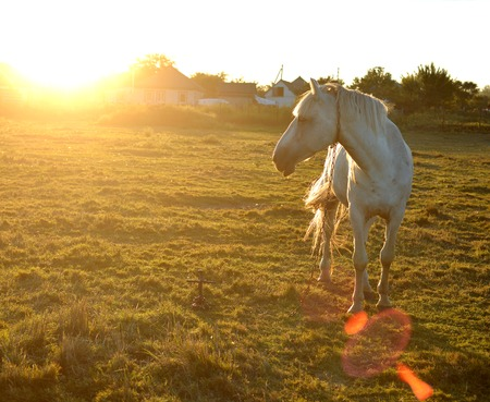 light brown horse: Beautiful white horse on the meadow