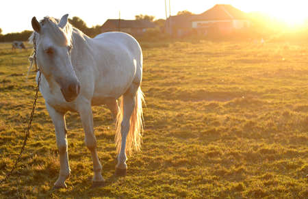 Beautiful white horse on the meadow photo