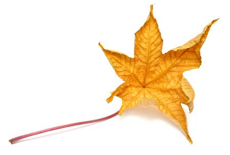 Yellow leaf isolated on white background photo
