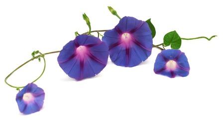 白い背景で隔離の葉と青い朝顔 写真素材
