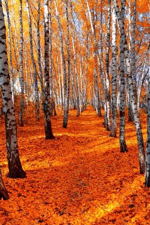 naranja arbol: Bosque de abedules de otoño en el fondo del cielo