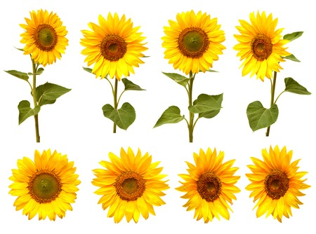 Sunflowers collection on the white background 版權商用圖片