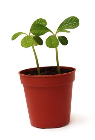planta con raiz: Planta en un crisol aislado en el fondo blanco