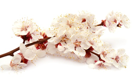 increase fruit: Apricot blossom branch isolated on white background Stock Photo