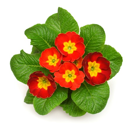 polyanthus: Red primrose closeup isolated on white background