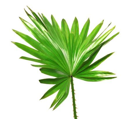 feuille arbre: Feuilles de palmier isol� sur fond blanc