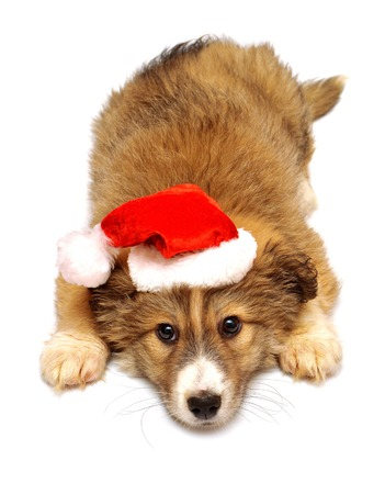 Young puppy with a cap of Santa Claus isolated on white background photo