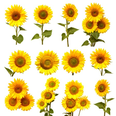 Sunflowers collection on the white background Zdjęcie Seryjne - 39260927