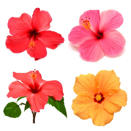 fiori di ibisco: Collection of colored hibiscus with leaves isolated on white background