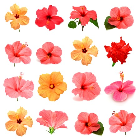 Collection of colored hibiscus with leaves isolated on white background Zdjęcie Seryjne - 39260930