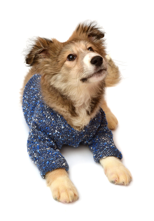 perros vestidos: Young puppy dog wearing a fashionable sweater isolated on a white background. Stylish puppy. Flat lay, top view