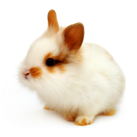 Beautiful white rabbit angora lion head isolated on white background Stock Photo
