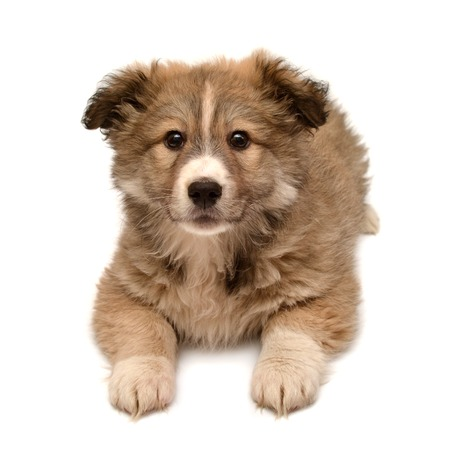 Beautiful puppy looking at the camera isolated on white background. Fluffy dog