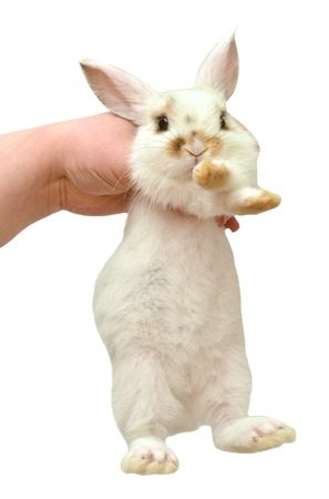lop eared: A cute lop-eared rabbit holding in his hand isolated on white background